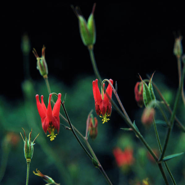 Aquilegia Photograph - Columbine by Science Photo Library