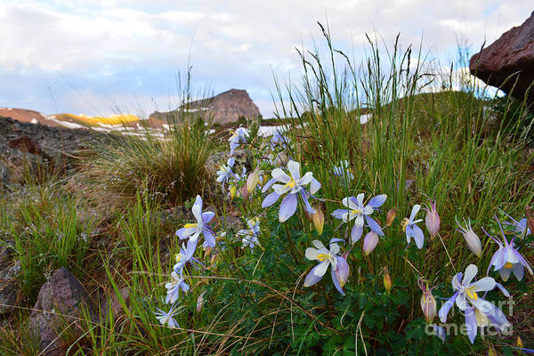 Photograph - Columbines And Uncompahgre Peak by Kate Avery