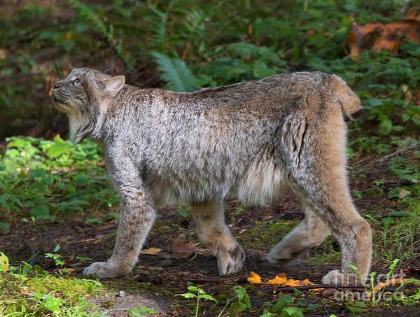 Stalk Photograph - Lynx Stare by Mike Dawson