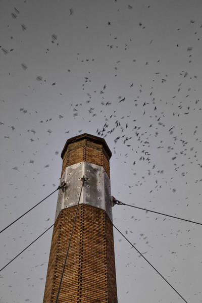 Chimney Swift Wall Art - Photograph - Come In by Kunal Mehra