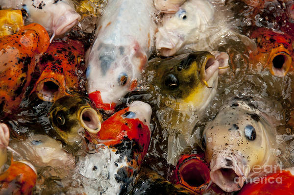 Ornamental Fish Photograph - Come On In The Water Is Great by Wilma  Birdwell