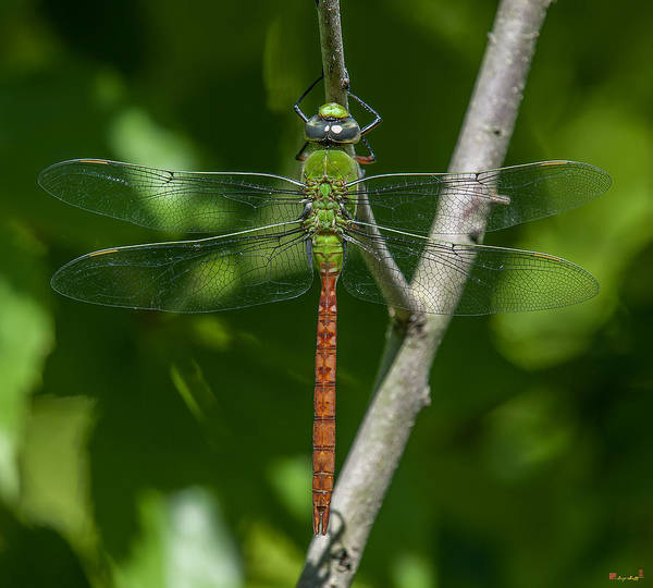 Photograph - Comet Darner Dragonfly Anax Longipes Din238 by Gerry Gantt