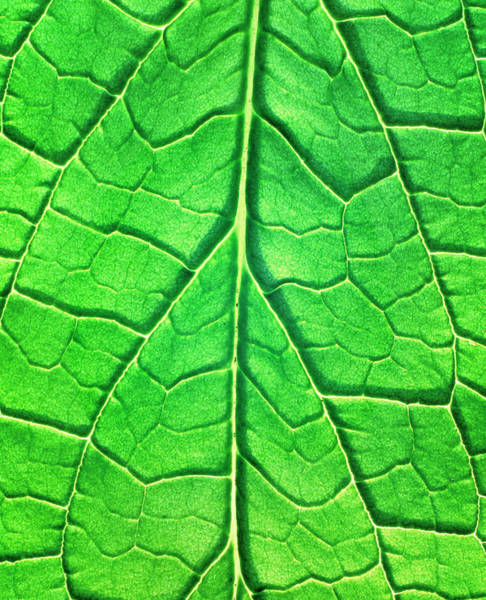 Wall Art - Photograph - Comfrey Leaf Veins by Simon Fraser/science Photo Library