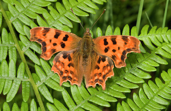 Animal Kingdom Wall Art - Photograph - Comma Butterfly by Nigel Downer