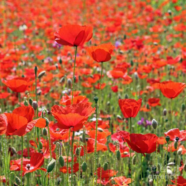 Commemorative Poppies Art Print