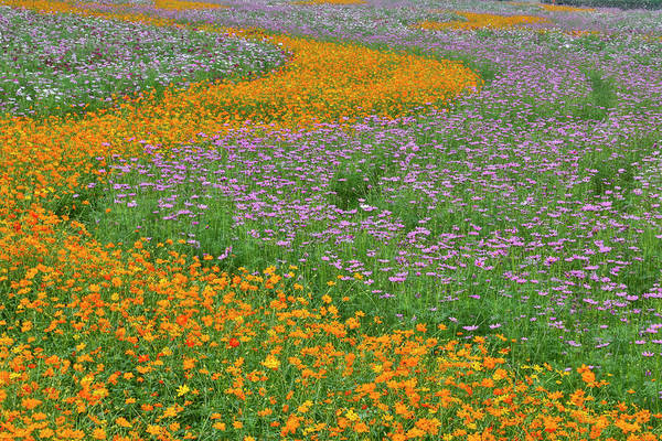 Row Crops Photograph - Commercially Grown Cosmos Flowers by Darrell Gulin