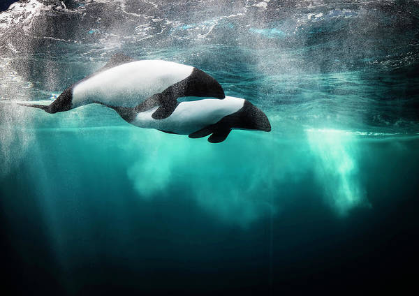 Dolphin Photograph - Commersona???s Dolphin by David Williams
