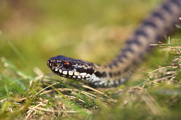 Grass Snake Photograph - Common Adder by Simon Booth/science Photo Library