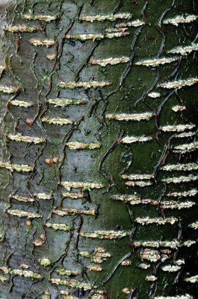 Alder Photograph - Common Alder Bark by Colin Varndell