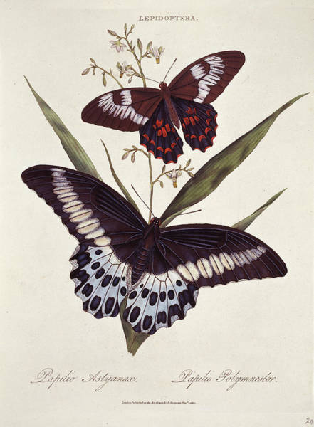 Wall Art - Photograph - Common And Blue Mormon Butterflies by Natural History Museum, London/science Photo Library