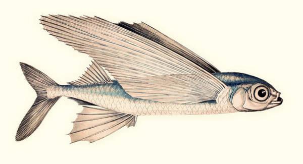 Atlantic Ocean Drawing - Common Atlantic Flying Fish by Mountain Dreams