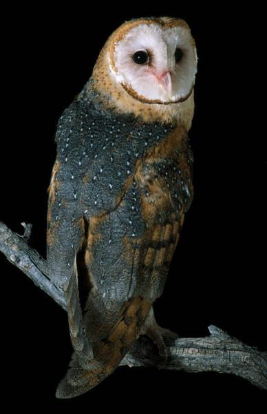 Wall Art - Photograph - Common Barn Owl by Craig K. Lorenz