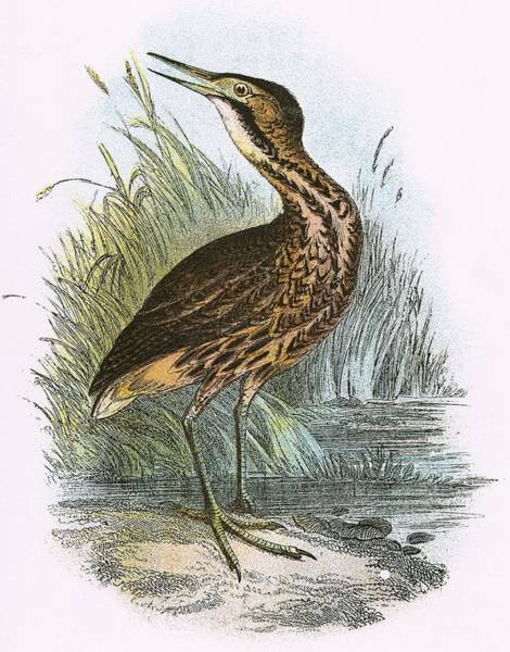Ornithology Photograph - Common Bittern by English School