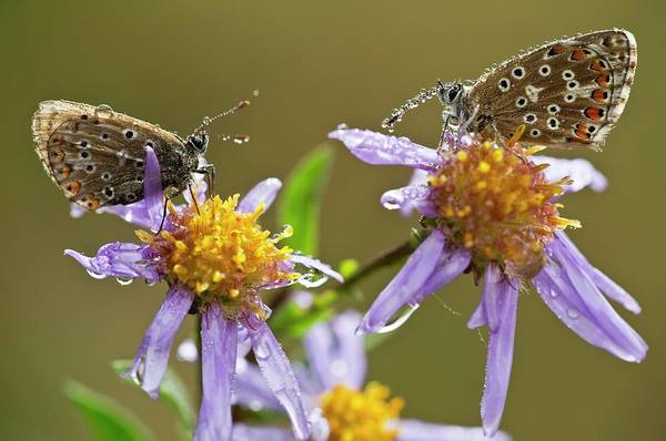 Angiosperms Wall Art - Photograph - Common Blue Butterflies Covered In Dew by Bob Gibbons