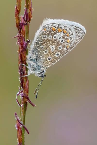 Arthropods Wall Art - Photograph - Common Blue Butterfly by Heath Mcdonald