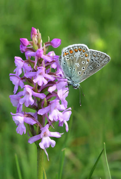 Fragrant Photograph - Common Blue Butterfly by John Devries/science Photo Library