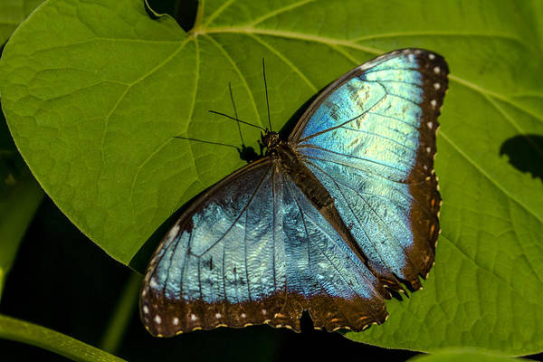 Photograph - Common Blue Morpho Butterfly by Teri Virbickis