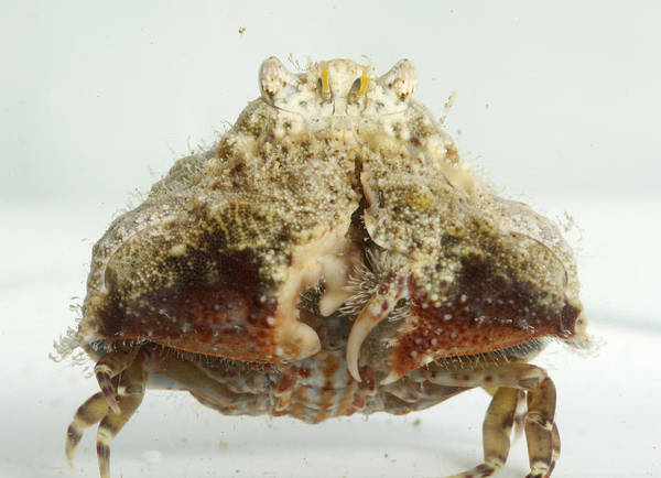 Photograph - Common Box Crab by Brian Magnier