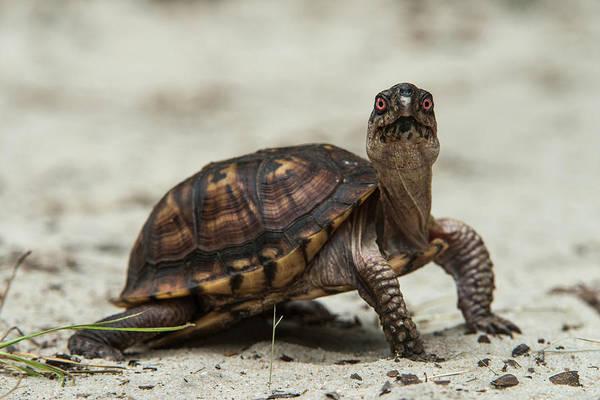 Box Turtle Photograph - Common Box Turtle (terrapene Carolina by Pete Oxford