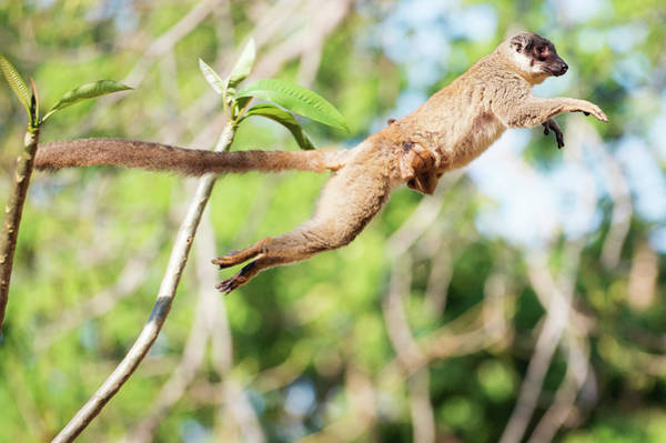 Lemur Wall Art - Photograph - Common Brown Lemur And Baby by Dr P. Marazzi