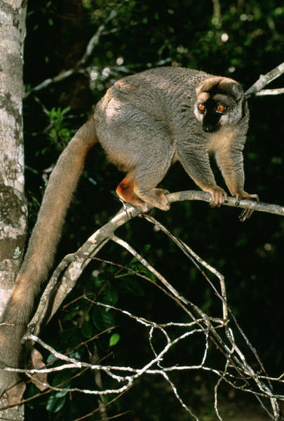 Tree Climbing Photograph - Common Brown Lemur by Tony Camacho/science Photo Library
