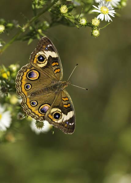 Buckeye Butterfly Wall Art - Photograph - Common Buckeye 1 by Thomas Young