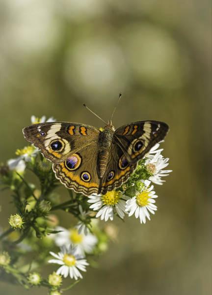 Buckeye Butterfly Wall Art - Photograph - Common Buckeye 2 by Thomas Young