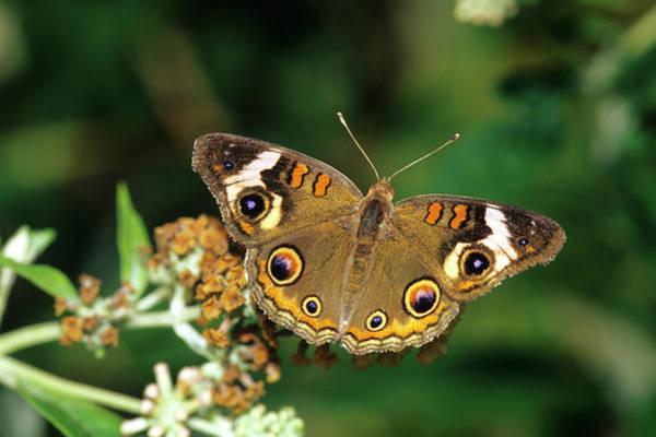 Buckeye Butterfly Wall Art - Photograph - Common Buckeye Butterfly (junonia Coenia by Richard and Susan Day