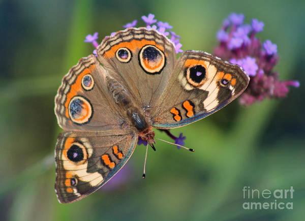 Photograph - Common Buckeye Butterfly by Karen Adams