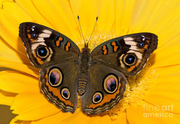 Duval County Photograph - Common Buckeye Butterfly by Millard H Sharp