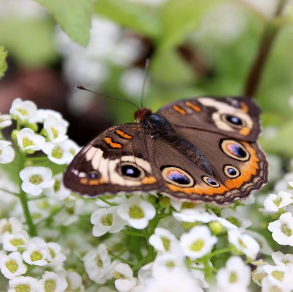 Buckeye Butterfly Wall Art - Photograph - Common Buckeye by Joseph Skompski