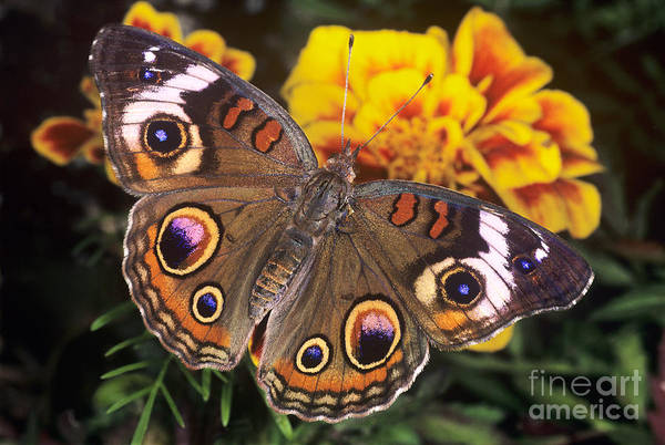 Photograph - Common Buckeye Junonia Coenia Captive by Dave Welling
