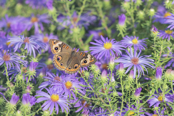 Buckeye Butterfly Wall Art - Photograph - Common Buckeye Junonia Coenia Perching by Animal Images