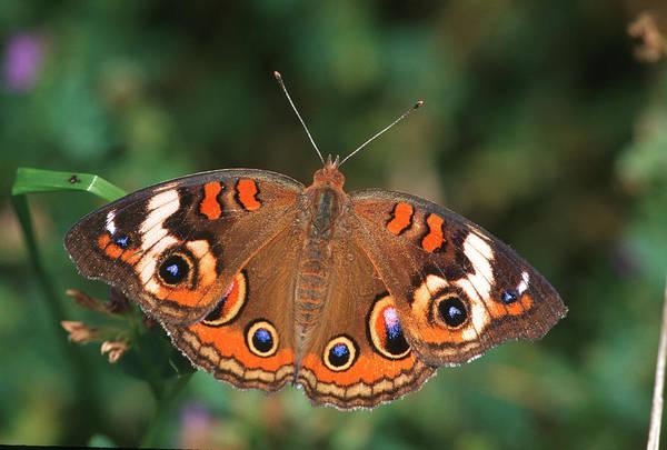 Buckeye Butterfly Wall Art - Photograph - Common Buckeye (junonia Coenia by Richard and Susan Day