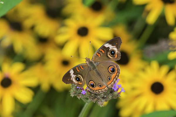 Buckeye Butterfly Wall Art - Photograph - Common Buckeye On Brazilian Verbena by Richard and Susan Day