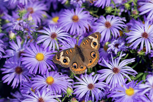 Aster Photograph - Common Buckeye On Frikart's Aster by Richard and Susan Day
