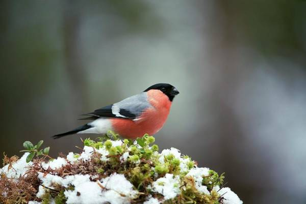 Ornithological Photograph - Common Bullfinch by Dr P. Marazzi/science Photo Library