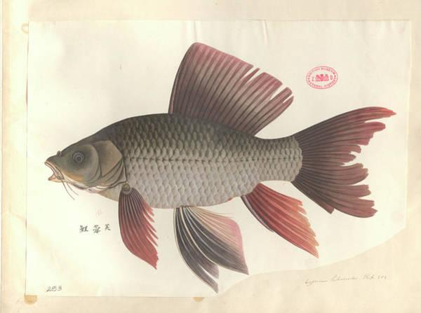 Common Carp Art Print by Natural History Museum, London