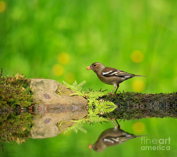 Wall Art - Photograph - Common Chaffinch Female Foraging Beside A Reflecting Pool by Louise Heusinkveld