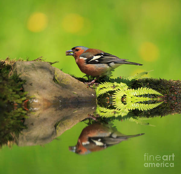 Wall Art - Photograph - Common Chaffinch Fringilla Coelebs Male by Louise Heusinkveld