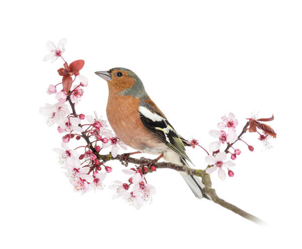 Belgium Photograph - Common Chaffinch On A Branch, Fringilla by Life On White