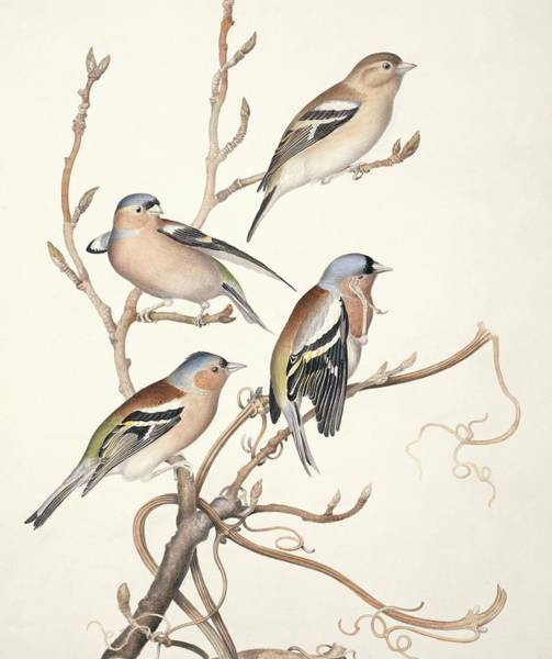 Wall Art - Photograph - Common Chaffinches, 19th Century Artwork by Science Photo Library