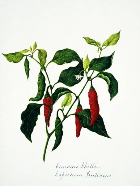 Wall Art - Photograph - Common Chilli Flowers And Fruits by Natural History Museum, London/science Photo Library
