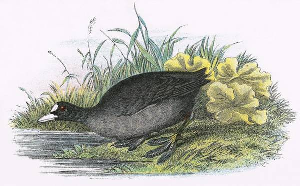 Ornithology Photograph - Common Coot by English School