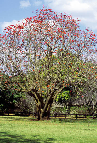 Wall Art - Photograph - Common Coral Tree (erythrina Lysistemon) by David Taylor/science Photo Library