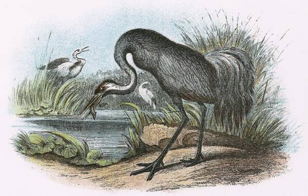 Wall Art - Painting - Common Crane by English School