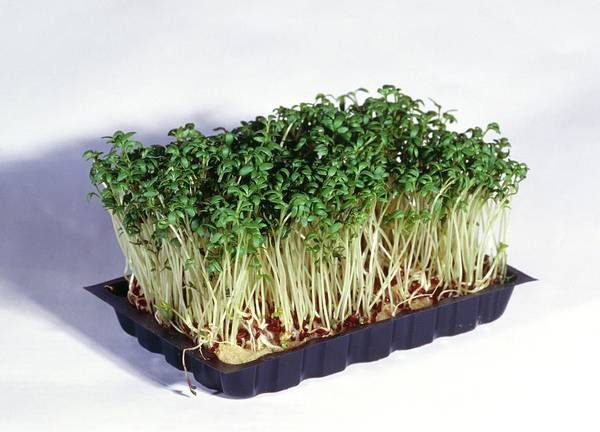 Salad Photograph - Common Cress by Chris Martin Bahr/science Photo Library