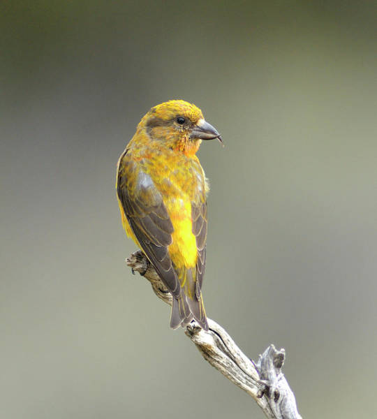 Crossbill Photograph - Common Crossbill Loxia Curvirostra by Rhz