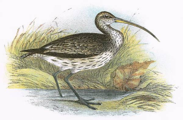 Wall Art - Painting - Common Curlew by English School