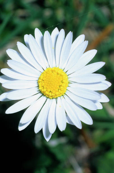 Wall Art - Photograph - Common Daisy (bellis Perennis) by Bruno Petriglia/science Photo Library
